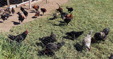 Pesquisa da UFPI busca origem das galinhas nativas brasileiras